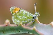 Anthocharis c. cethura - Desert Orangetip