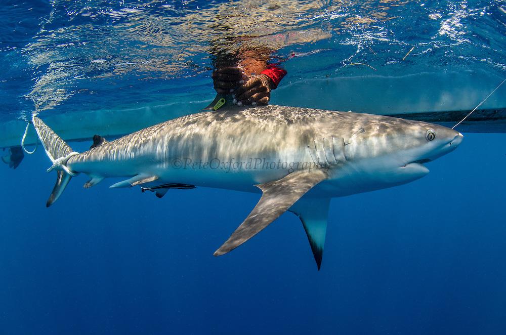 Caribbean Reef Shark Research http://