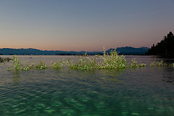 """Sunrise at Lake Tahoe 10"" - These half submerged plants were photographed at sunrise near Commons Beach in Tahoe City, Lake Tahoe."