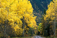 Aspens in fall. Bull River Valley, southeast British Columbia