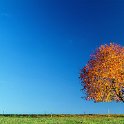 Fruit tree isolated in the countryside , flamboyant autumnal colors, panoramic landscape in Switzerland