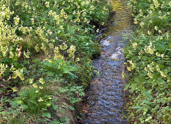 Nederland, Ubbergen, 19-4-2012Bloeiende stengelloze sleutelbloem langs stromend beekje in bos tijdens lente. Flowering wild primrose along a stream in spring forest.Foto: Flip Franssen/Hollandse Hoogte