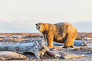 Polar Bear (Ursus maritimus) on barrier island along Beaufort Sea  in Kaktovik, Alaska. Autumn. Morning.