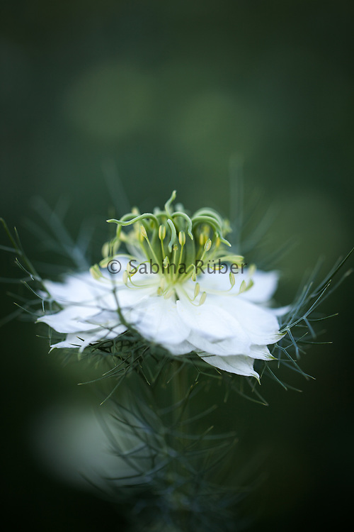 Nigella damascena 'Albion Green Pod' - love-in-a-mist