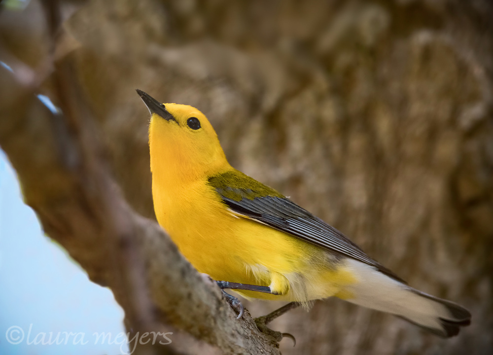 Prothonotary Warbler with a tree trunk in background.