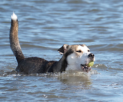 A dog paddles in the sea at Portobello Beach in Edinburgh during a sunny first day of Autumn.<br /> <br /> Edinburgh Weather Pictures, Thursday 22nd September 2016<br /> <br /> (c) Alex Todd | Edinburgh Elite media