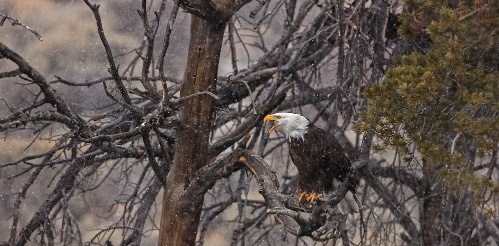 During an early morning snow squall, an adult bald eagle calls to warn others that are approaching his territory. Bald eagles are very vocal birds, often using their calls as a warning to interlopers or as a form of communication between mated pairs and offspring.