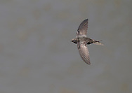 Swift Apus apus L 16-17cm. Invariably seen in flight: has anchor-shaped outline and mainly dark plumage. Catches insects on the wing. Sexes are similar. Adult has mainly blackish brown plumage with pale throat. Tail is forked but often held closed in active flight. Juvenile is overall darker but throat and forehead are paler. Voice Loud screaming calls uttered in flight. Status Locally common summer visitor. Nests in churches and loft spaces. Feeding birds gather where insects are numerous.