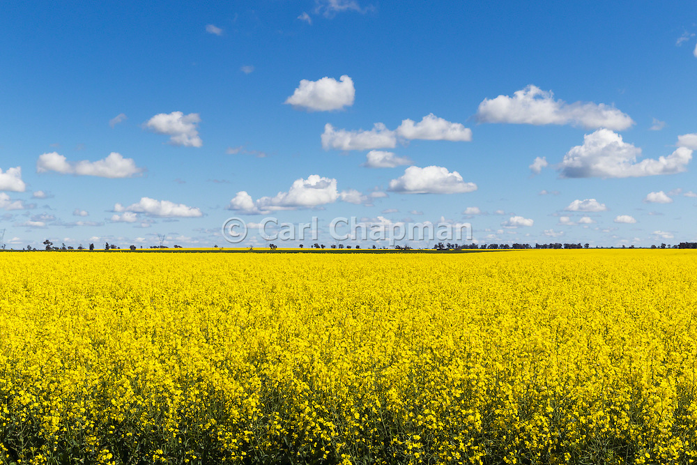 Flowering canola crop in farm paddock under blue sky and cumulus clouds at Lockhart, New South Wales, Australia.