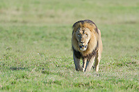 Thick-maned male lion walking across open grassland, Addo Elephant National Park, Eastern Cape, South Africa