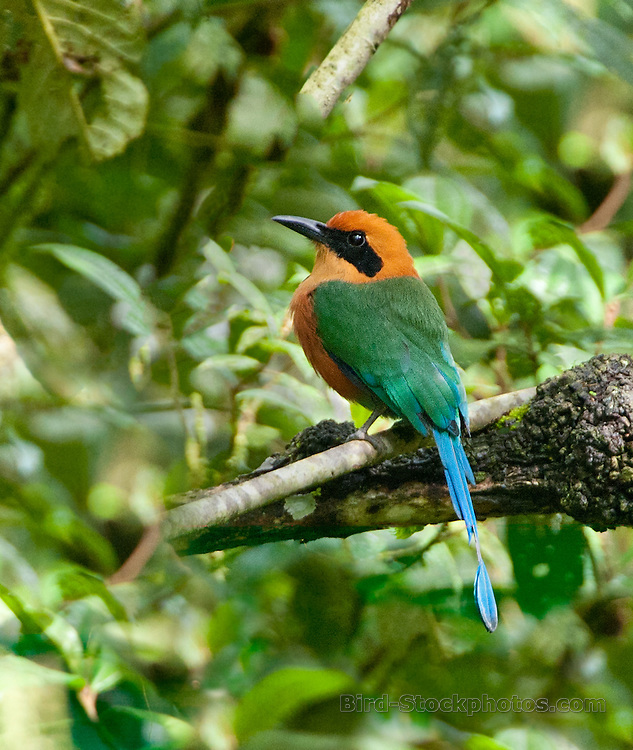 Rufous Motmot, Baryphthengus martii, Panama Canopy Lodge, Panama, by Owen Deutsch