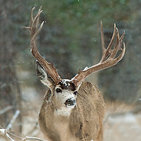 huge trophy nontypical muledeer buck snowing winter, grass pine habitat