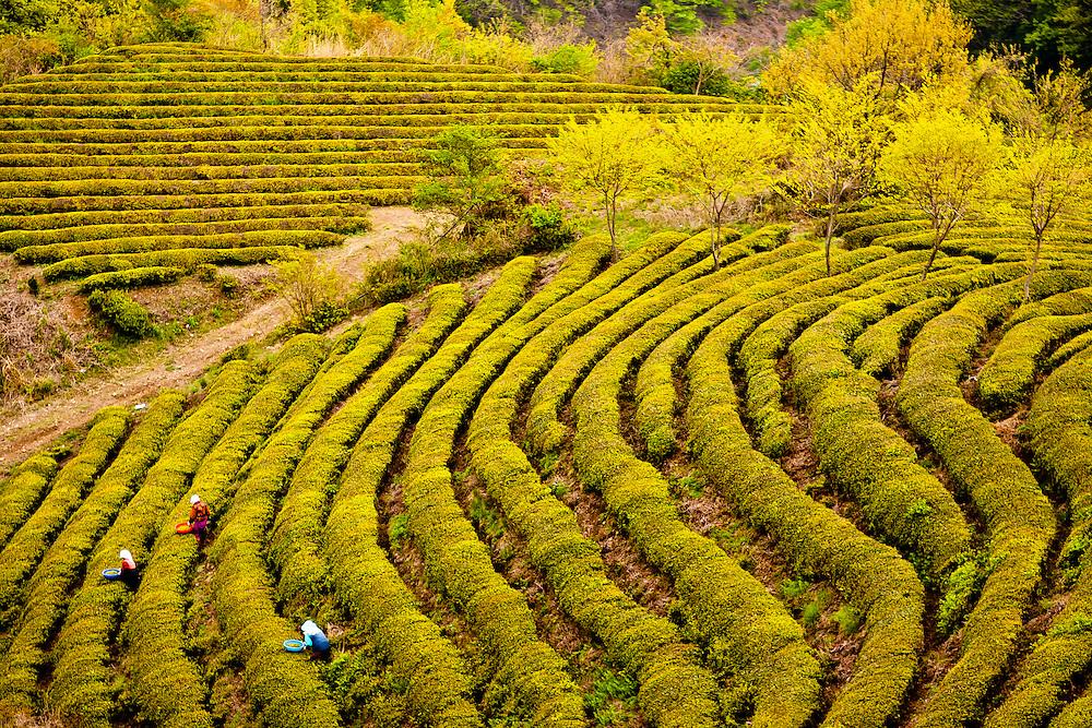 Women pick green tea at a plantation near Bosung, South Korea.