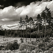 Queen Elizabeth forest pines, Aberfoyle