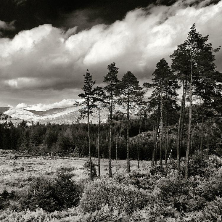 Queen Elizabeth forest pines, Aberfoyle