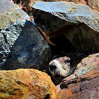 Woodchuck Exiting Burrow Below Penobscot Narrows Bridge in Prospect, Maine<br />