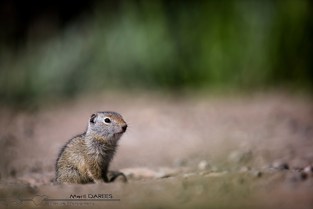 Baby ground squirrel. Yellowstone National Park. USA.