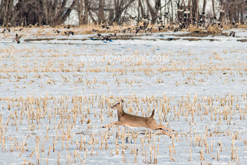 A white-tailed deer runs through a farm field while a flock of Canada geese take off in the background on a winter afternoon in Wawayanda, New York.