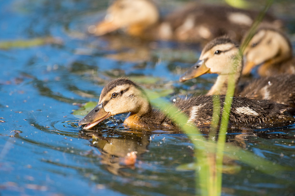 Mallard, Anas platyrhynchos, duckling, Chippewa County, Michigan
