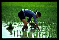 Vietnamese farmer plants rice in a field along the road between Lang Son and Cao Bang, Vietnam, Southeast Asia, 1997