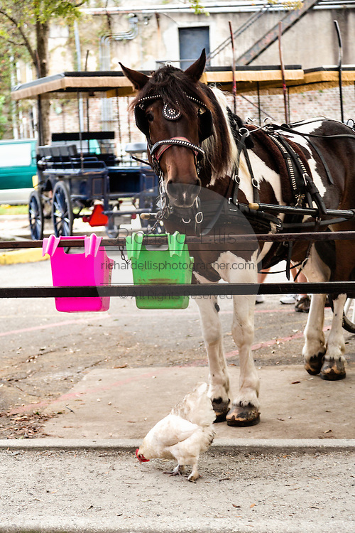 A carriage horse looks at a chicken at the Palmetto Carriage barn in historic Charleston, SC.