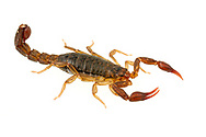 Southern Unstriped Scorpion (Vaejovis carolinianus)<br /> United States: Alabama: Tuscaloosa Co.<br /> Tulip Tree Springs off Echola Rd.; Elrod<br /> 13-Oct-2017<br /> J.C. Abbott #3004