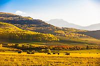 Cows grazing, San Juan Mountains, along Last Dollar Road between Ridgway and Telluride, Colorado USA.