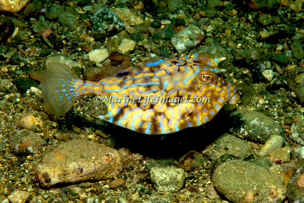 Thornback Cowfish inhabit sand, rubble and weed bottoms, often near reefs. Picture taken Ambon, Indonesia.