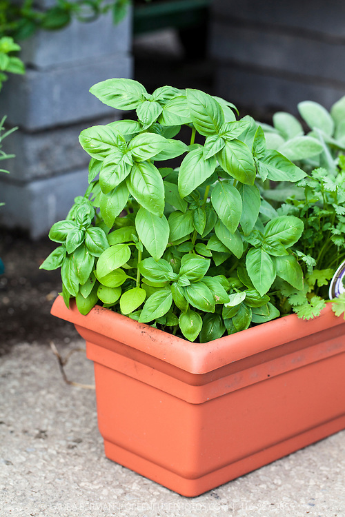 Genovese basil growing in a terra cotta colored window box (Occium basilicum)