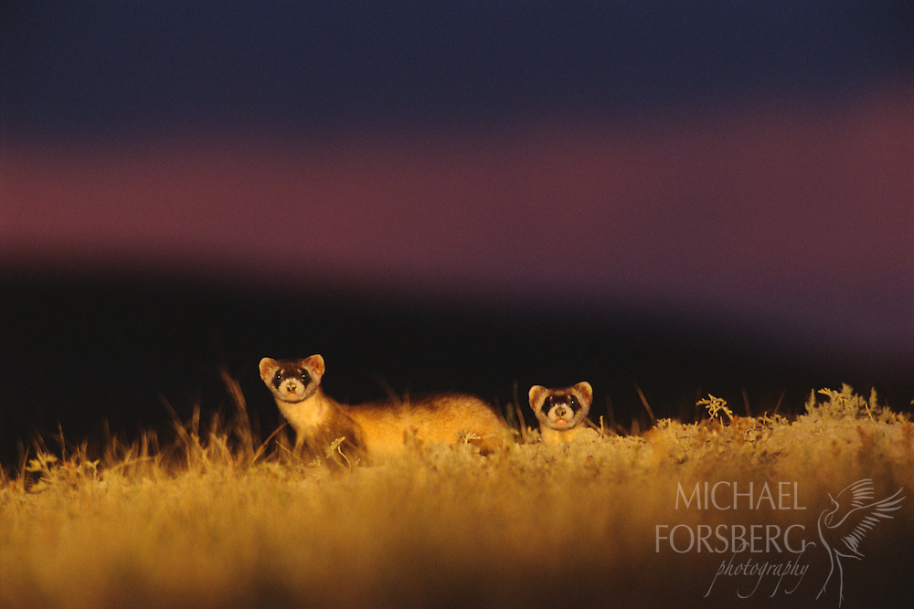 A pair of black-footed ferrets emerge from a prairie dog town at night.  Buffalo Gap National Grassland, South Dakota.