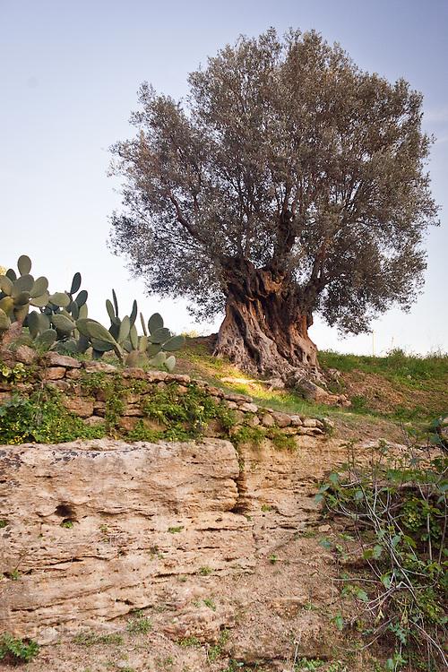 Agrigento, Valle dei Templi. Ulivo secolare nel Giardino della Kolymbetra. Proprietà FAI. ©2012 Vince Cammarata | FOS