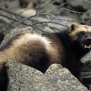 An adult wolverine in the Rocky Mountains of Montana. Captive Animal