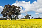 trees in a field of flowering canola crop under blue sky and cumulus cloud near Brucedale, New South Wales, Austraila.