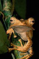 File-eared Tree Frog (Polypedates otilophus) in the rain forest in Danum Valley Conservation Area, Borneo Island.