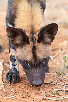Inquisitive wild dog puppy approached me and gazed straight into the lens.