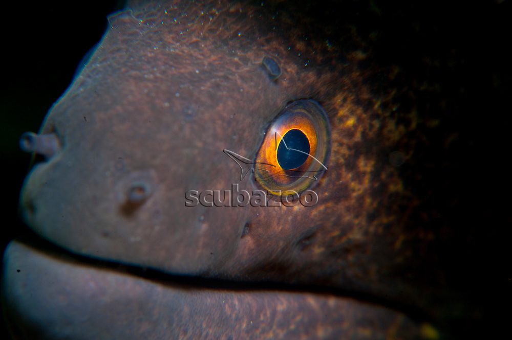 Giant Estuarine Moray Eel, Strophidon sathete, dangerously close, Semporna Straits, Sabah, Malaysia, Borneo.