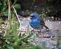 Male Indigo Bunting. Image taken with a Nikon D5 camera and 600 mm f/4 VR lens (ISO 200, 600 mm, f/4, 1/400 sec).