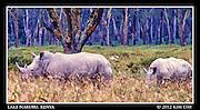 White Rhino in Lake Nakuru.Kenya - September 2012