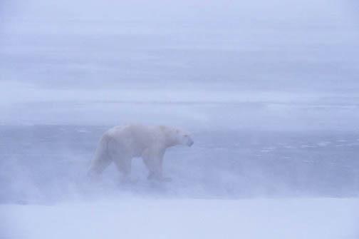 Polar Bear, (Ursus maritimus) Adult. Churchill, Manitoba. Canada. Snowstorm.
