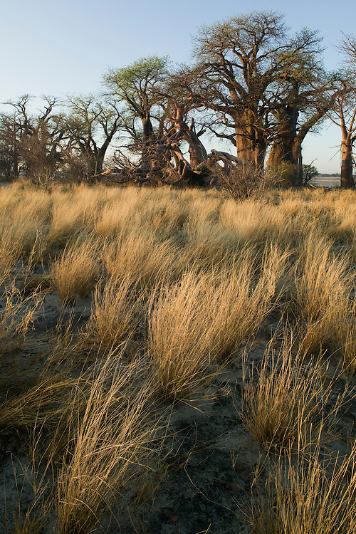 Botswana, Nxai Pan National Park, Morning sun lights Baines Baobabs, a noted island of baobab trees in Kalahari Desert  salt pans