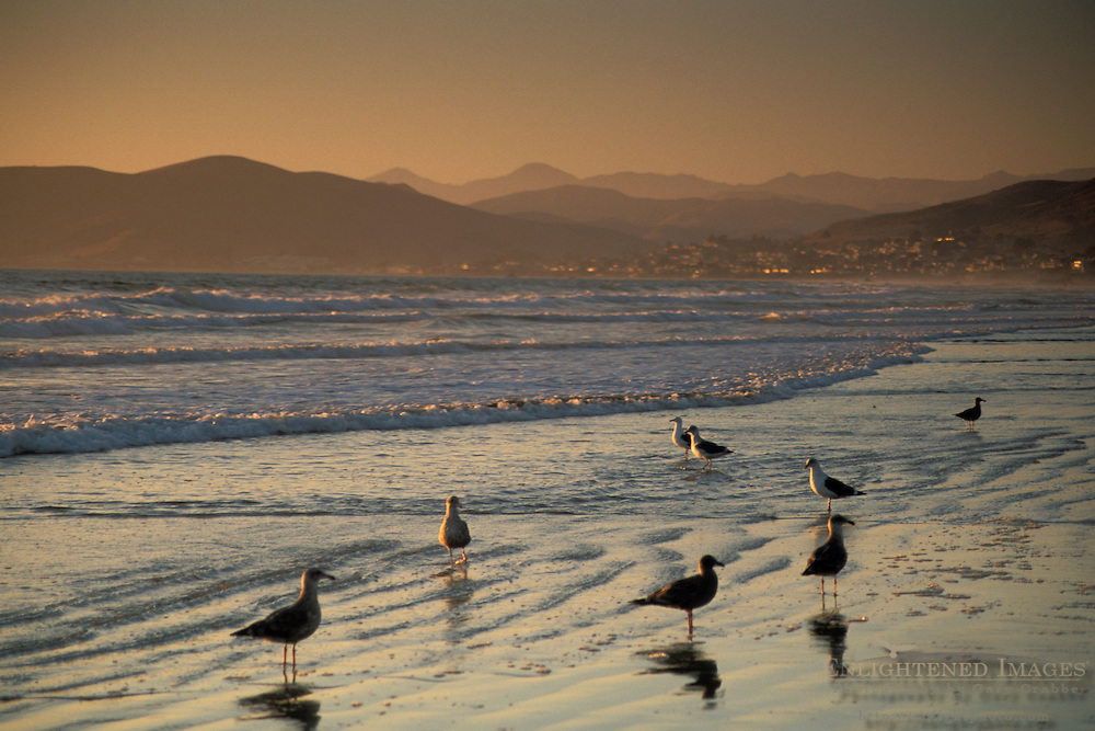 Seagulls on sand beach in surf zone Morro Strand State Beach at sunset, near Cayucos and Morro Bay, California Seagulls on sand beach in surf zone Morro Strand State Beach at sunset, near Cayucos and Morro Bay, California