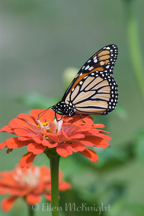 Monarch Butterfly Pollinating a Zinnia