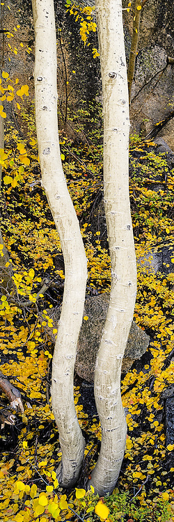 A photo of yellow and gold aspen trees in the Sierra Mountains of California