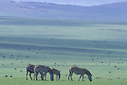 Plains Zebra<br /> Equus burchelli<br /> Grazing on the hills of Lamuta<br /> Ngorongoro Conservation Area, Tanzania