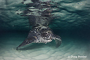 leatherback sea turtle, Dermochelys coriacea ( Critically Endangered species ), Parque Nacional Jaragua, Dominican Republic ( Caribbean Sea )