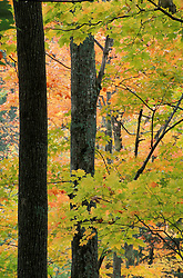 Hancock, VT..A northern hardwood forest in fall.  Texas Falls trail, Green Mountain National Forest.