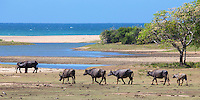 Asian Water Buffalo (Bubalus bubalis) on the coast of Yala National Park, Sri Lanka