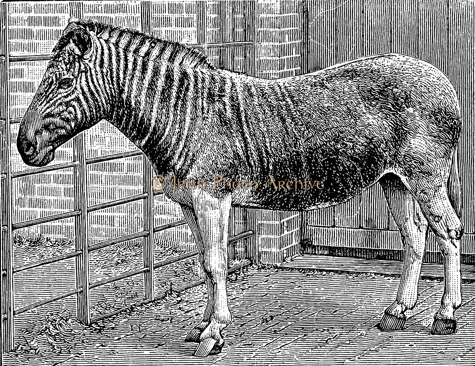 Quagga (Equus quagga): Extinct South African mammal of the horse family. Engraving of photograph by Frederick York of London, c1870, of Quagga mare in London Zoo, England.