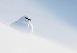 Rock Ptarmigan (Lagopus mutus hyperborea) in Spitsbergen, Svalbard