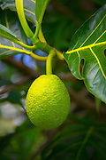 Breadfruit tree, Hanalei, Kauai, Hawaii